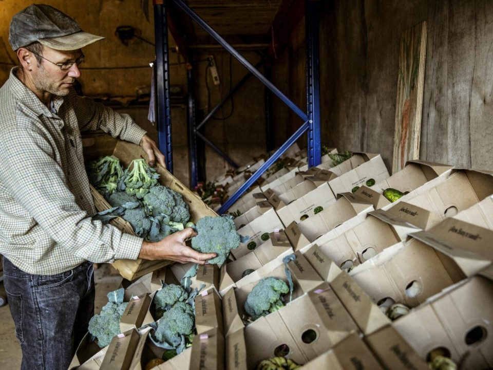 Farmer standing in a farm shop, arranging broccoli in cardboard boxes.